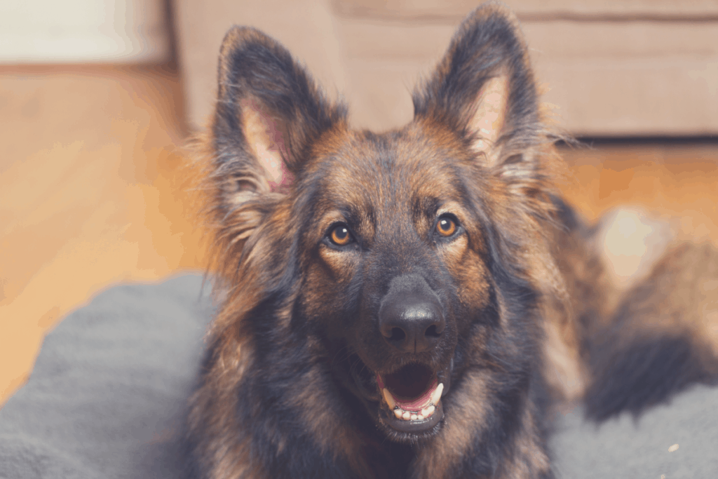 Best Dog Beds For German Shepherds 2019 Sleeperholic