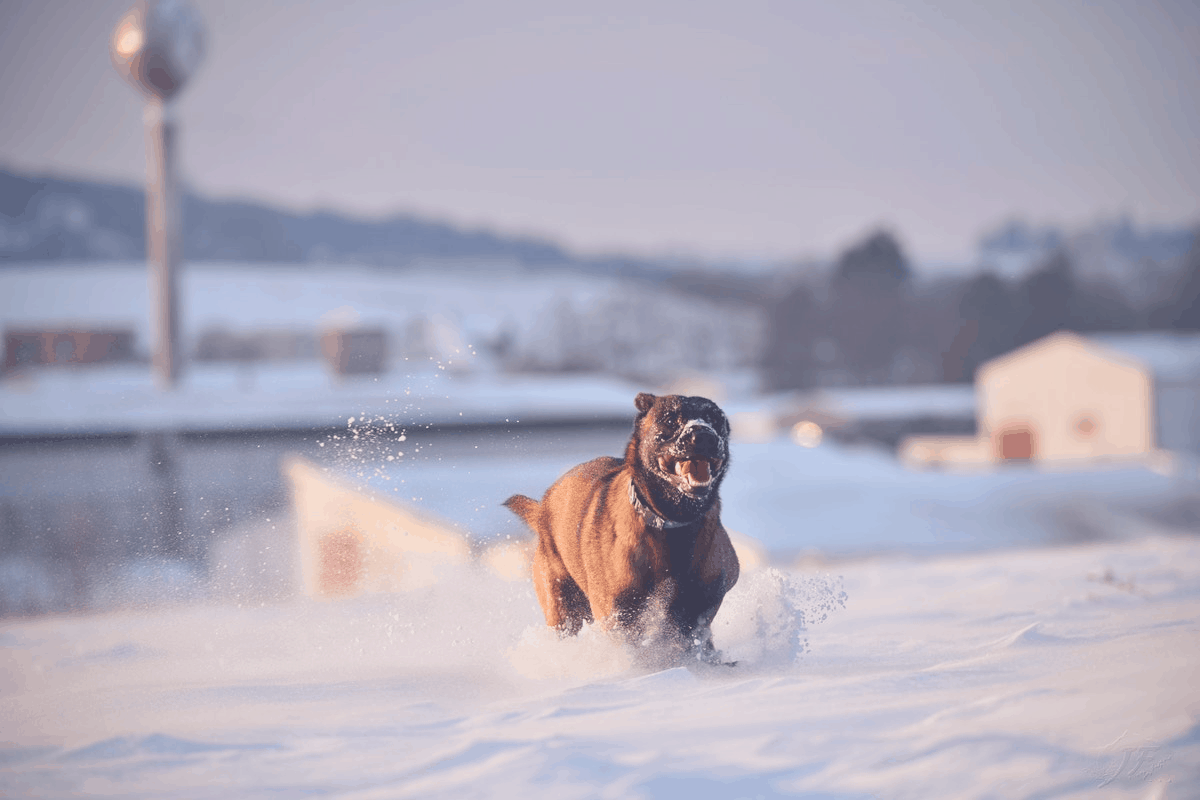 dog with the tongue out during cold weather