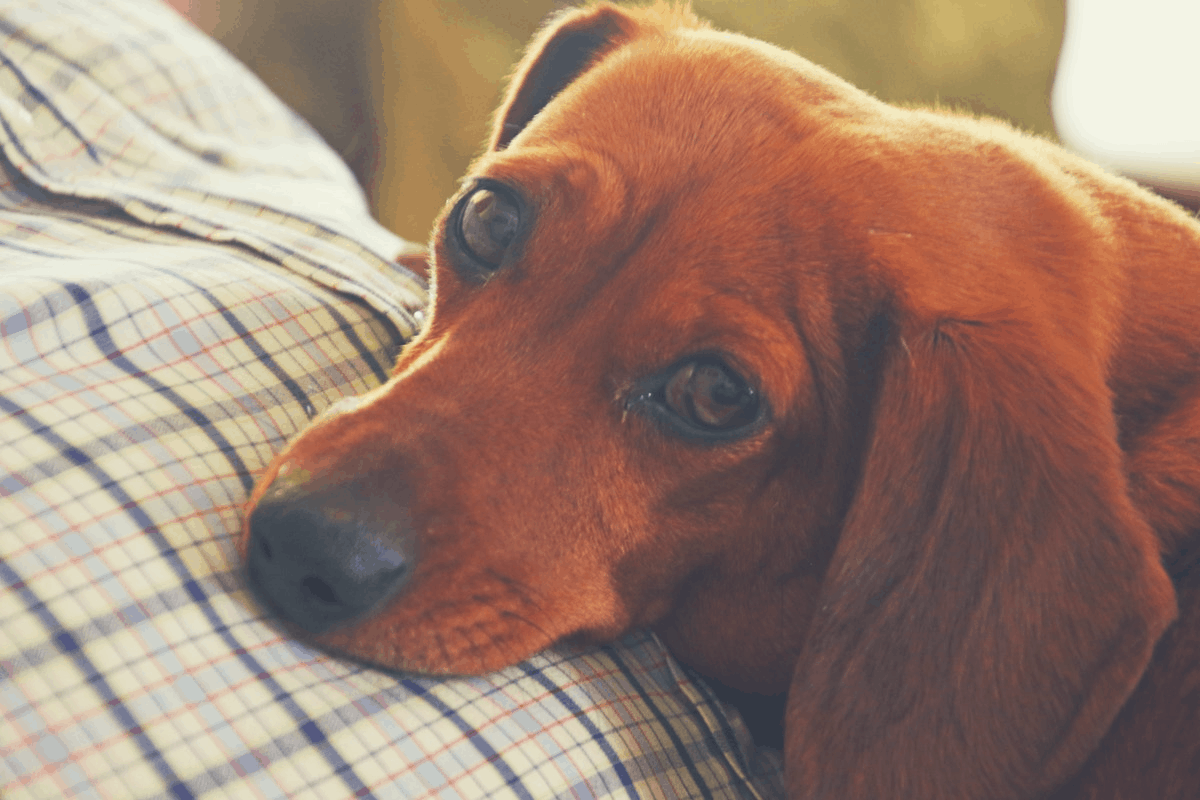 dachshund resting on the stomach of a man