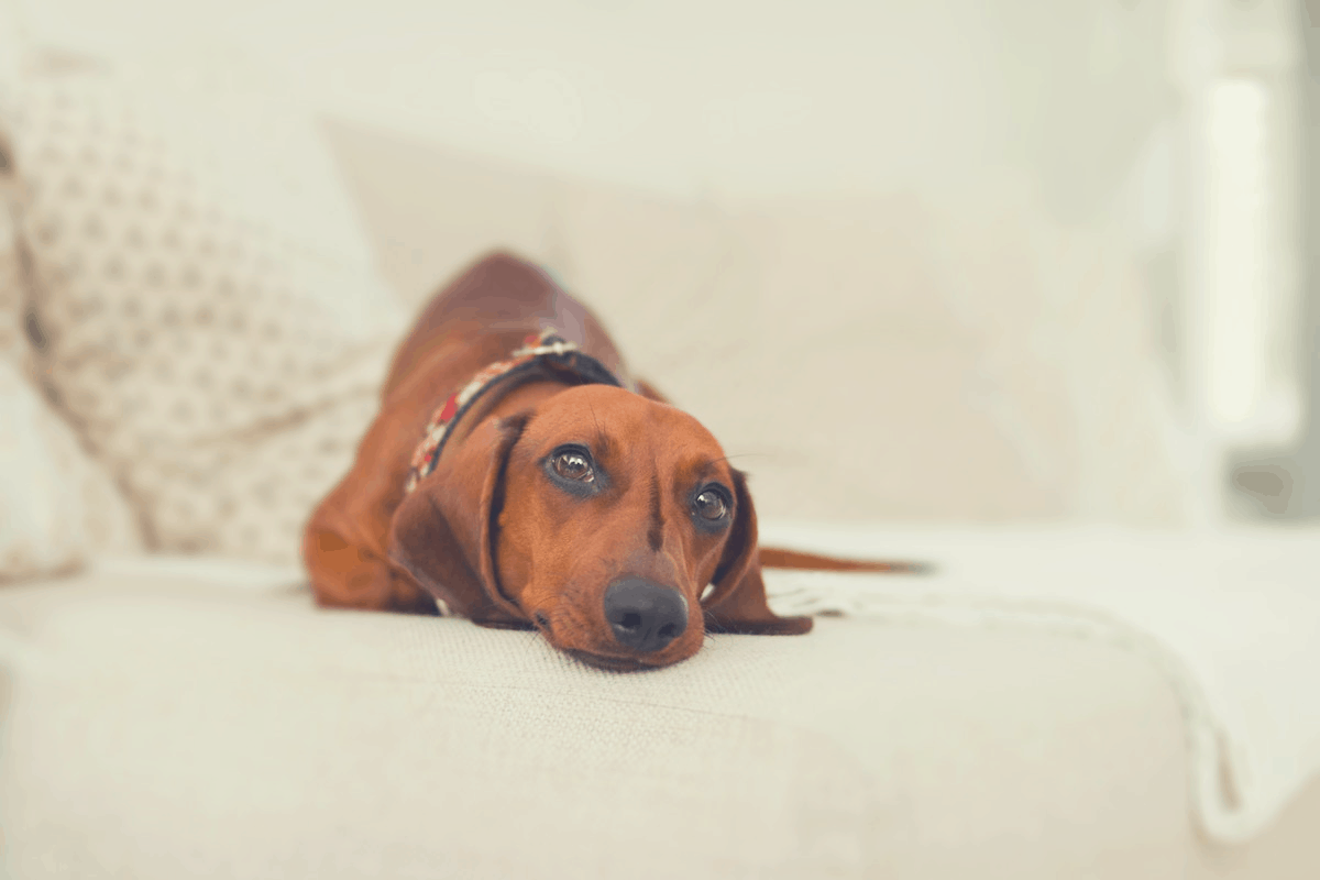 brown dachshund lying on a bed