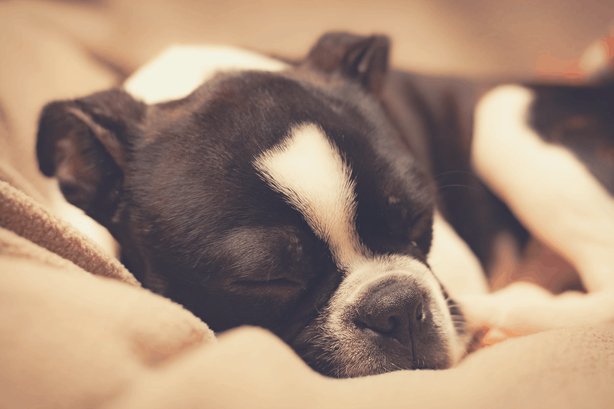 black and white dog lying cozy in bed
