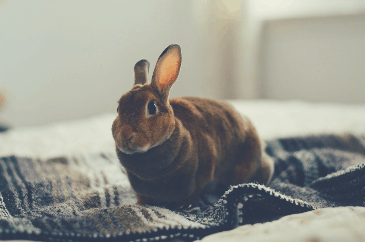 rabbit relaxing on a blanket