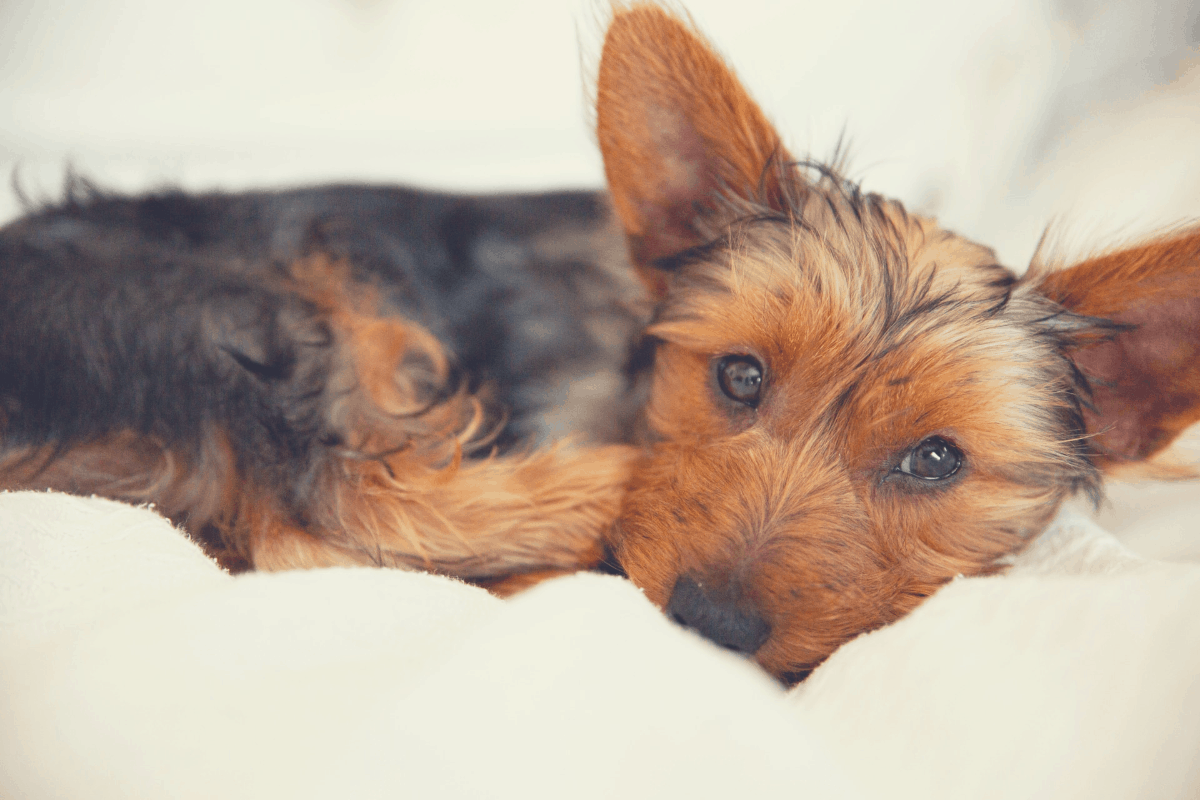 yorkshire terrier lying in bed