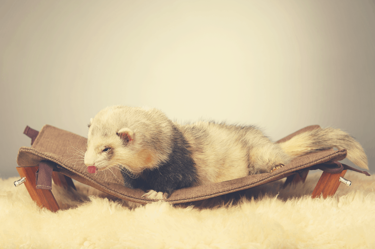 ferret lying on a leather pouch