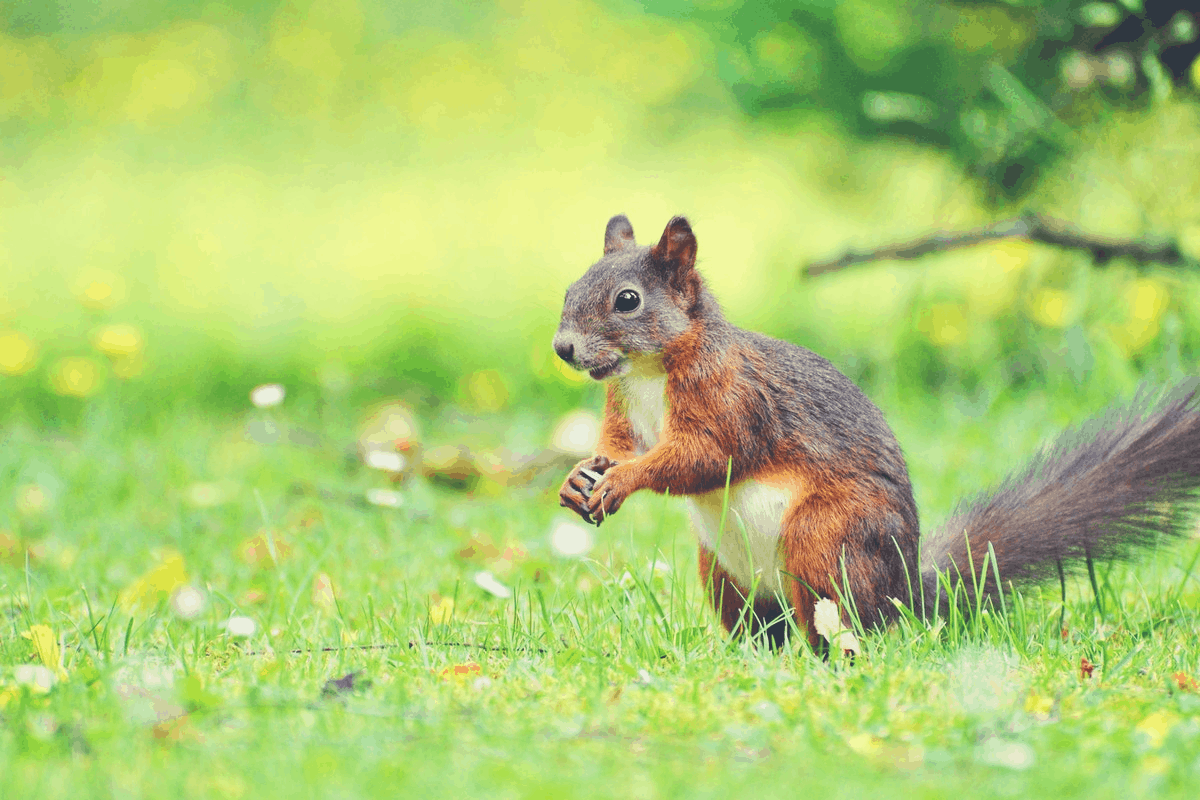 red squirrel standing in the woods
