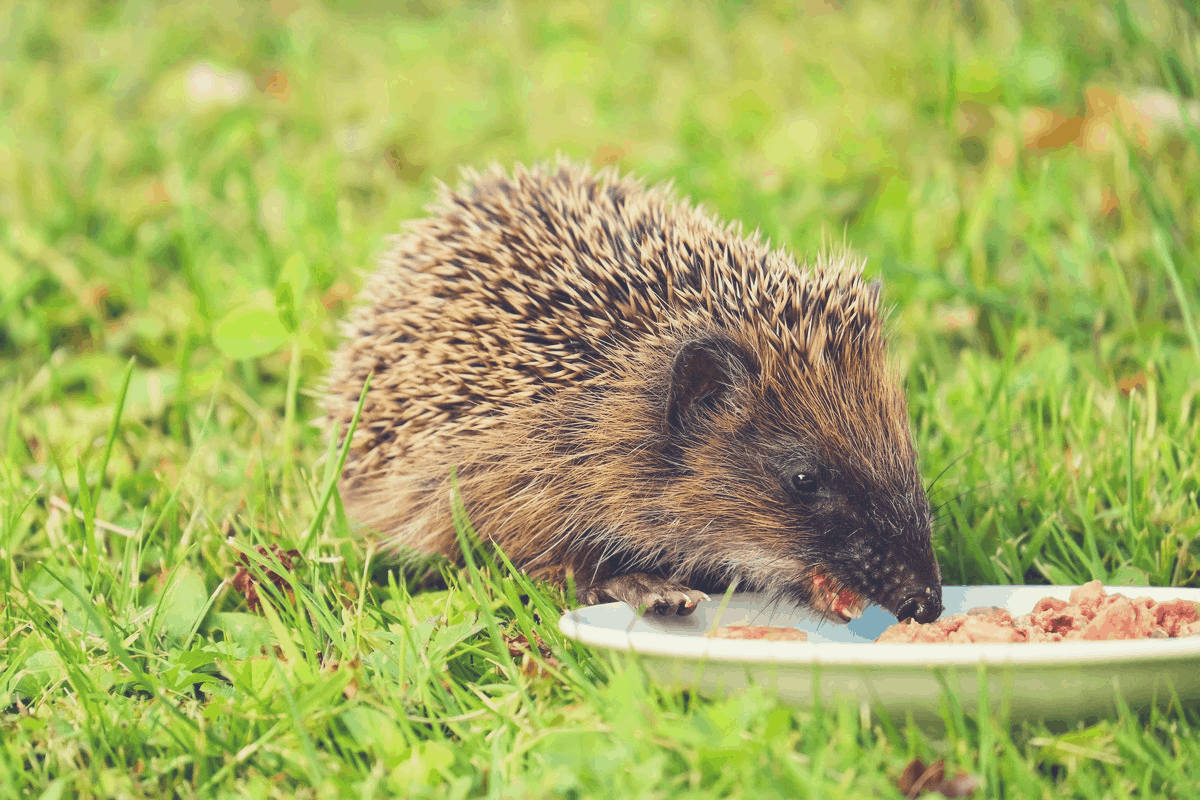 hedgehog eating on grass