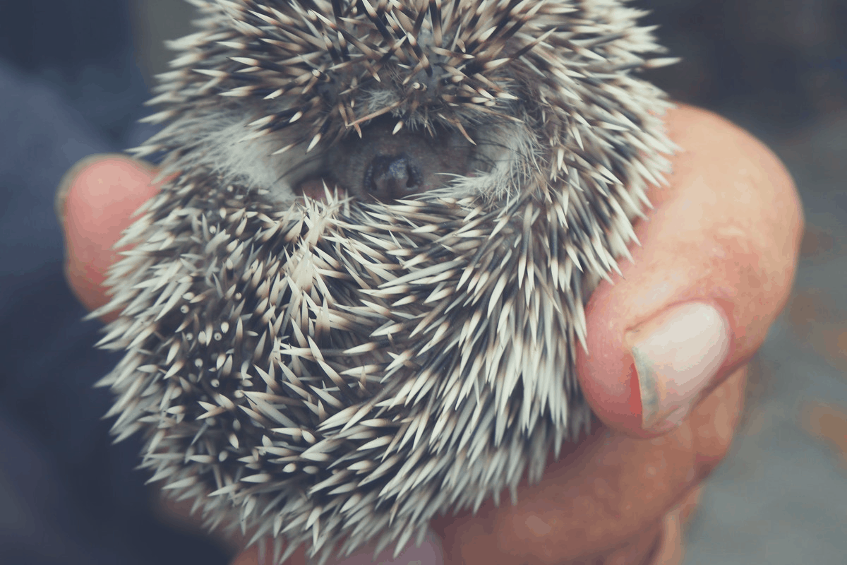 hedgehog coiled up in the hands