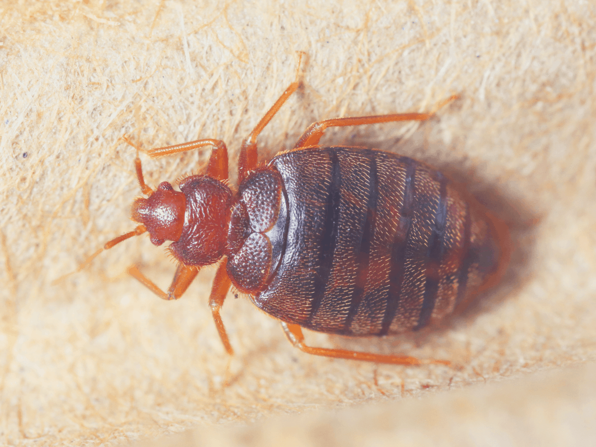bed bug crawling on a surface